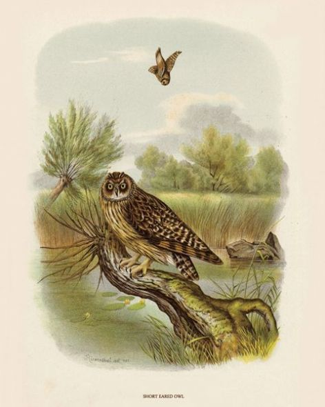 Fine Art Print of the Short Eared Owl by O V Riesenthal (1876)